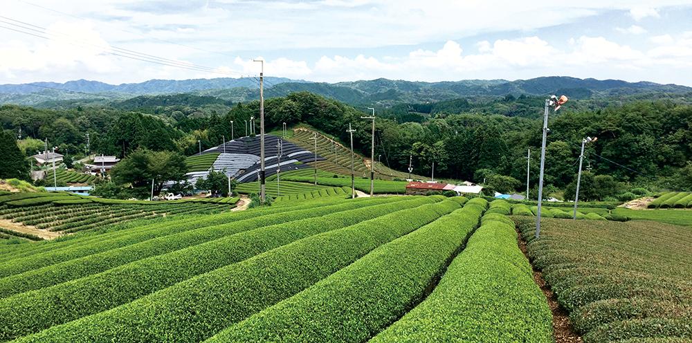 南山城村の茶畑